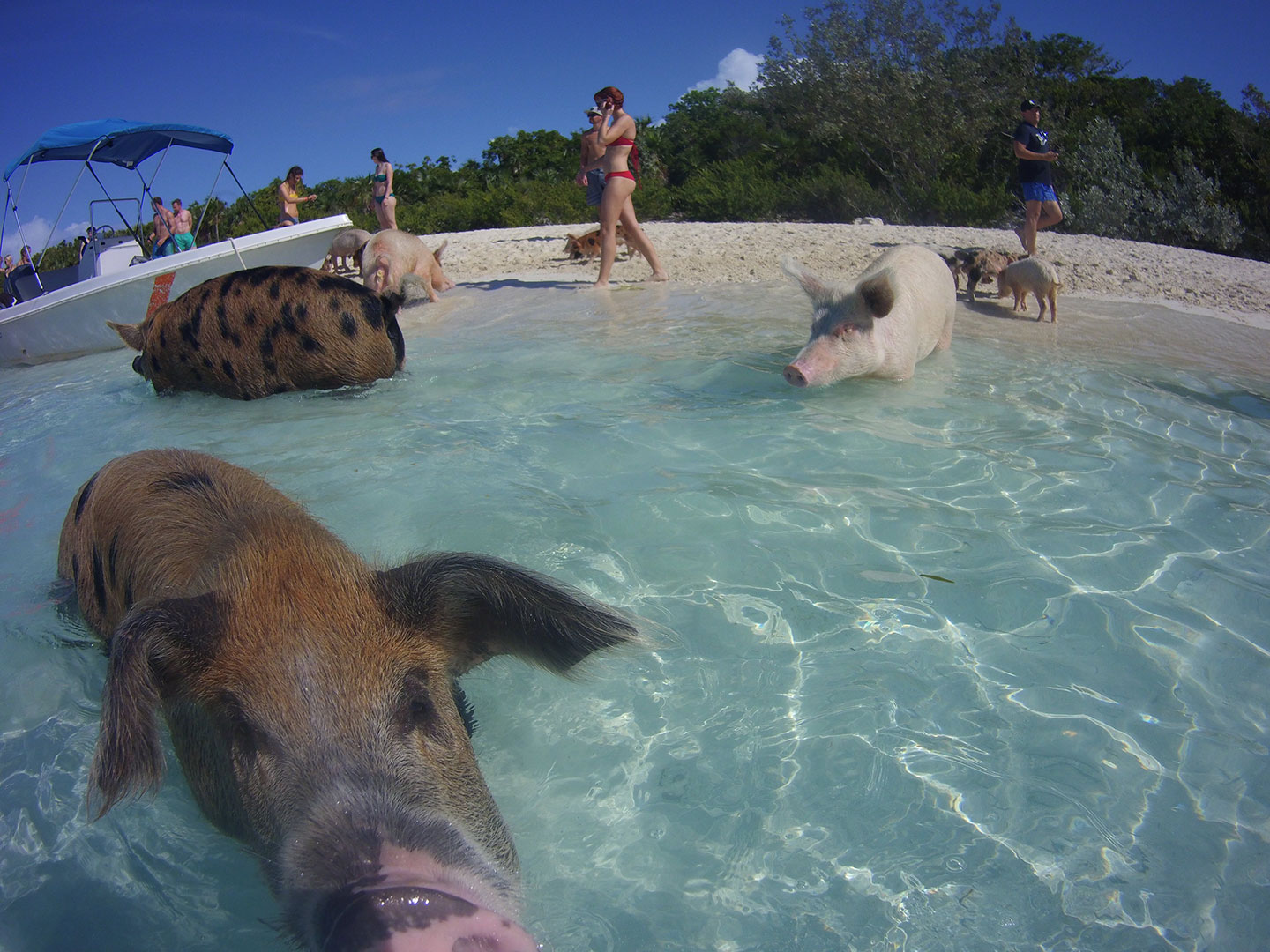 Beloved Swimming Pigs Found Dead in the Bahamas