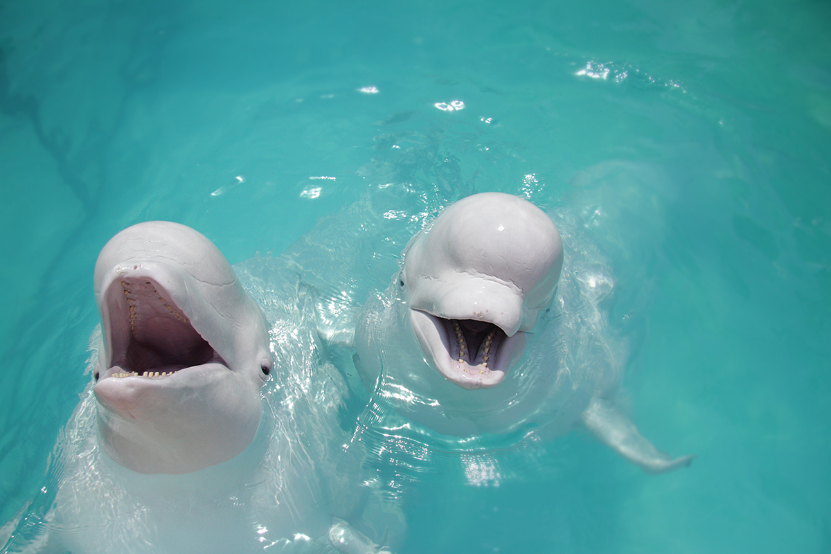 Two Belugas To Join First-Ever Open-Water Whale Sanctuary