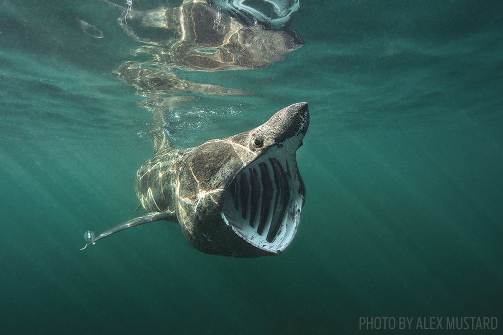 where and when to go diving with basking sharks sport diver