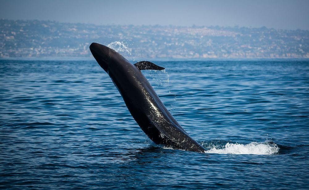 7 facts about false killer whales sport diver