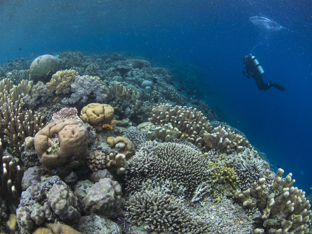 A diver swims among healthy corals. Image: The Ocean Agency/ Paul G. Allen Philanthropies