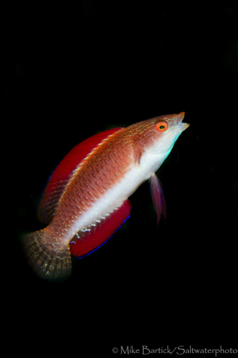 Fish Facts: The Flasher And Fairy Wrasse | Sport Diver