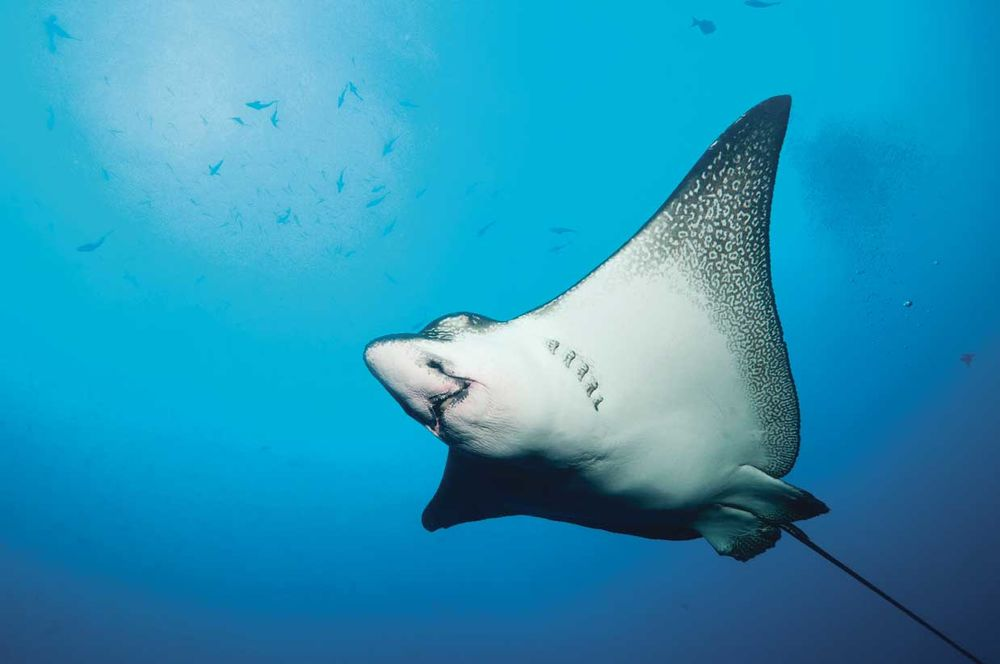 interesting facts about eagle rays photo gallery sport diver