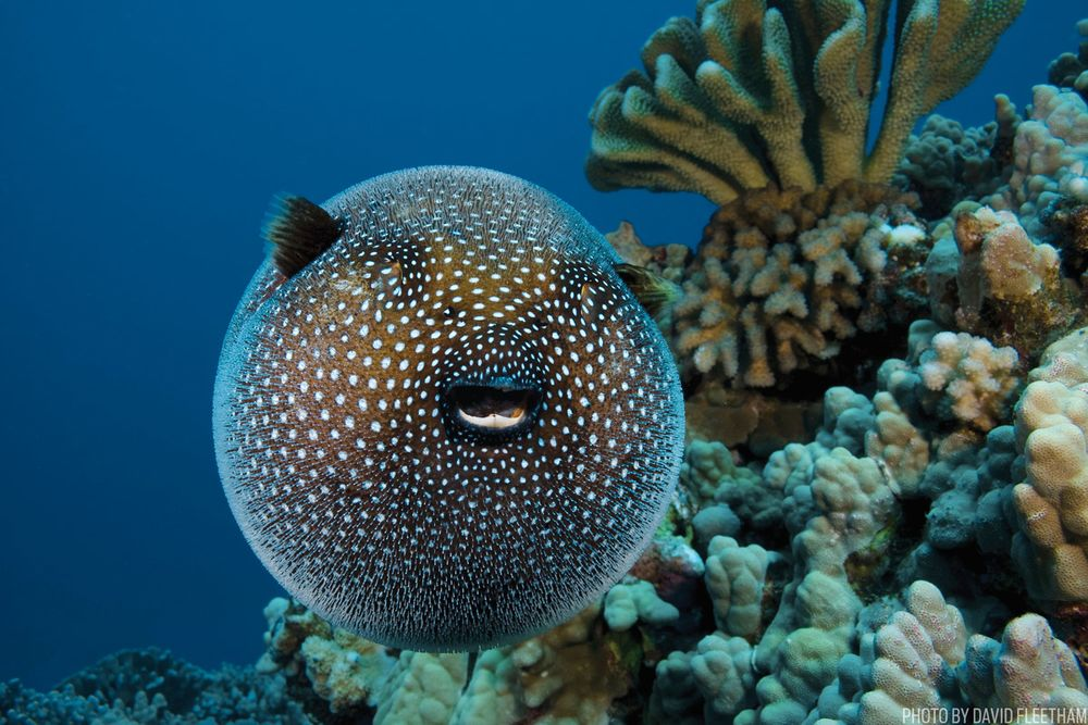 7 things you didn t know about the pufferfish sport diver