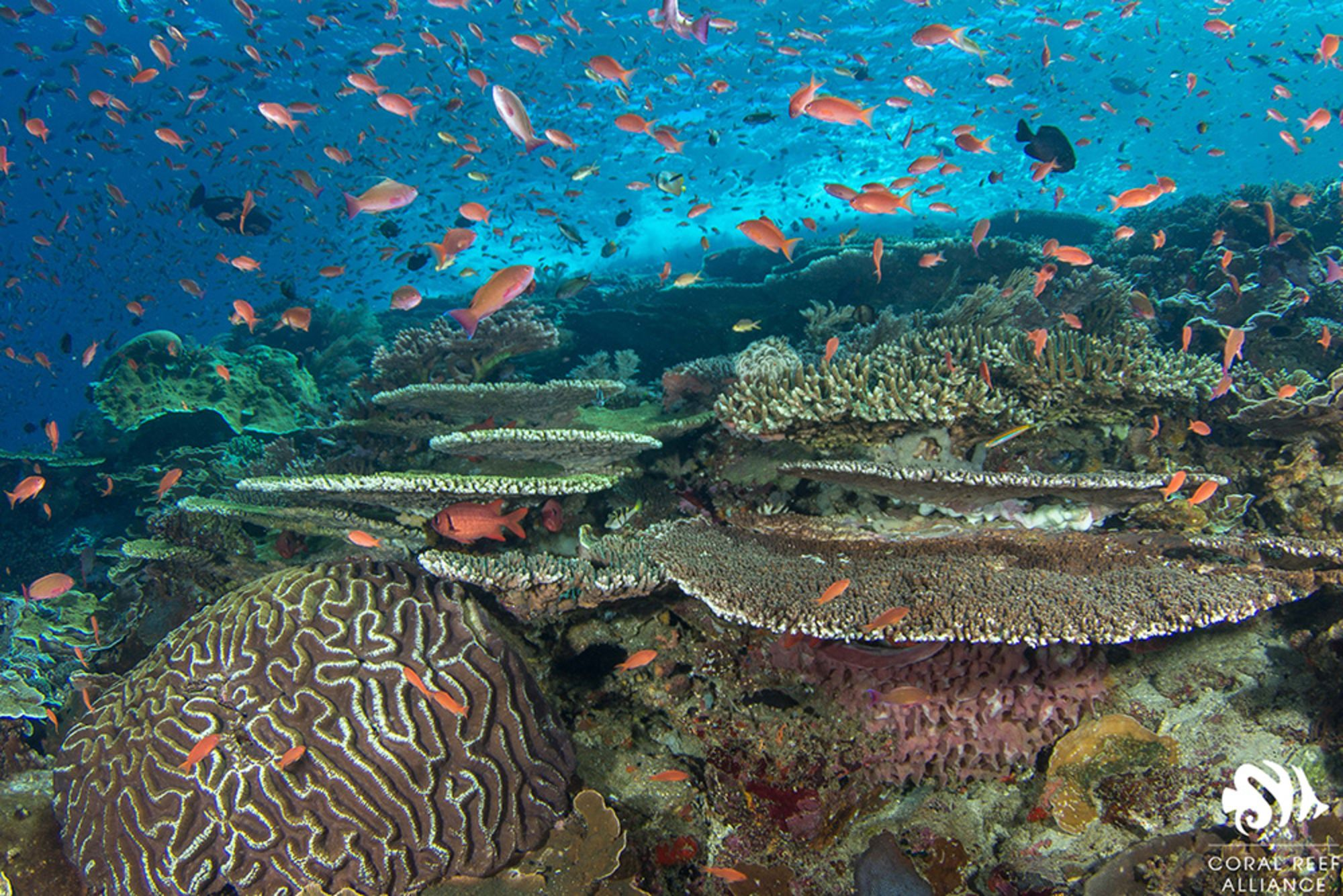 Conservation Spotlight: Coral Reef Alliance