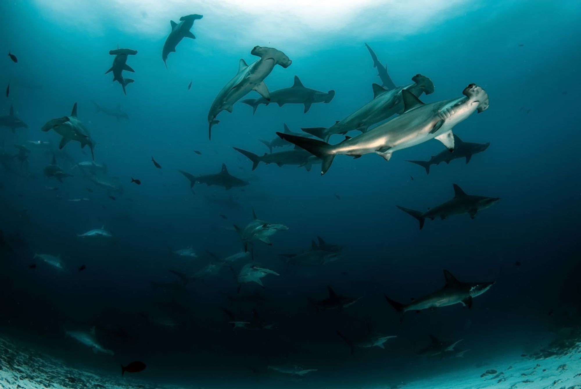 Can Two Different Shark Species Hybridize?