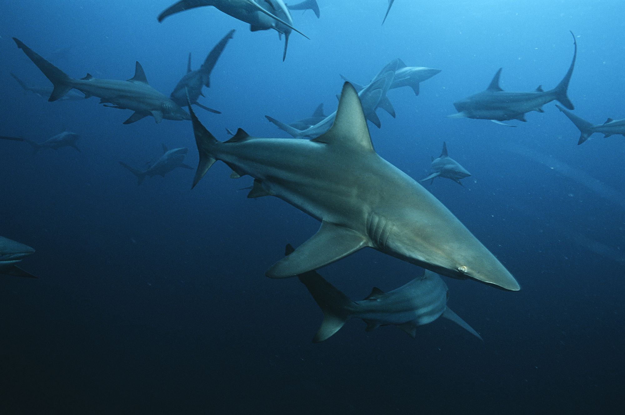 How Many Species of Sharks Are There?