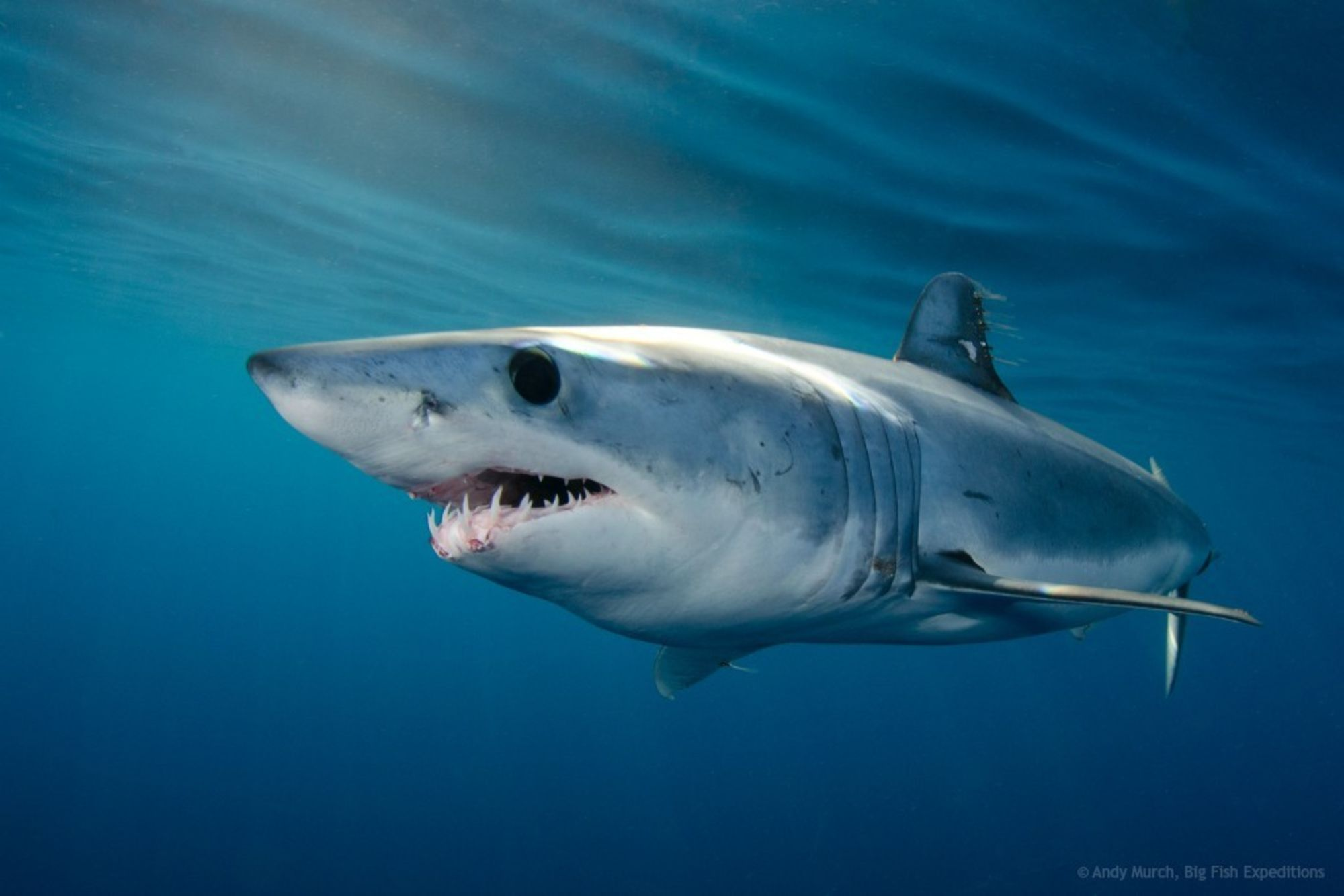 Success for Mako Sharks at CITES