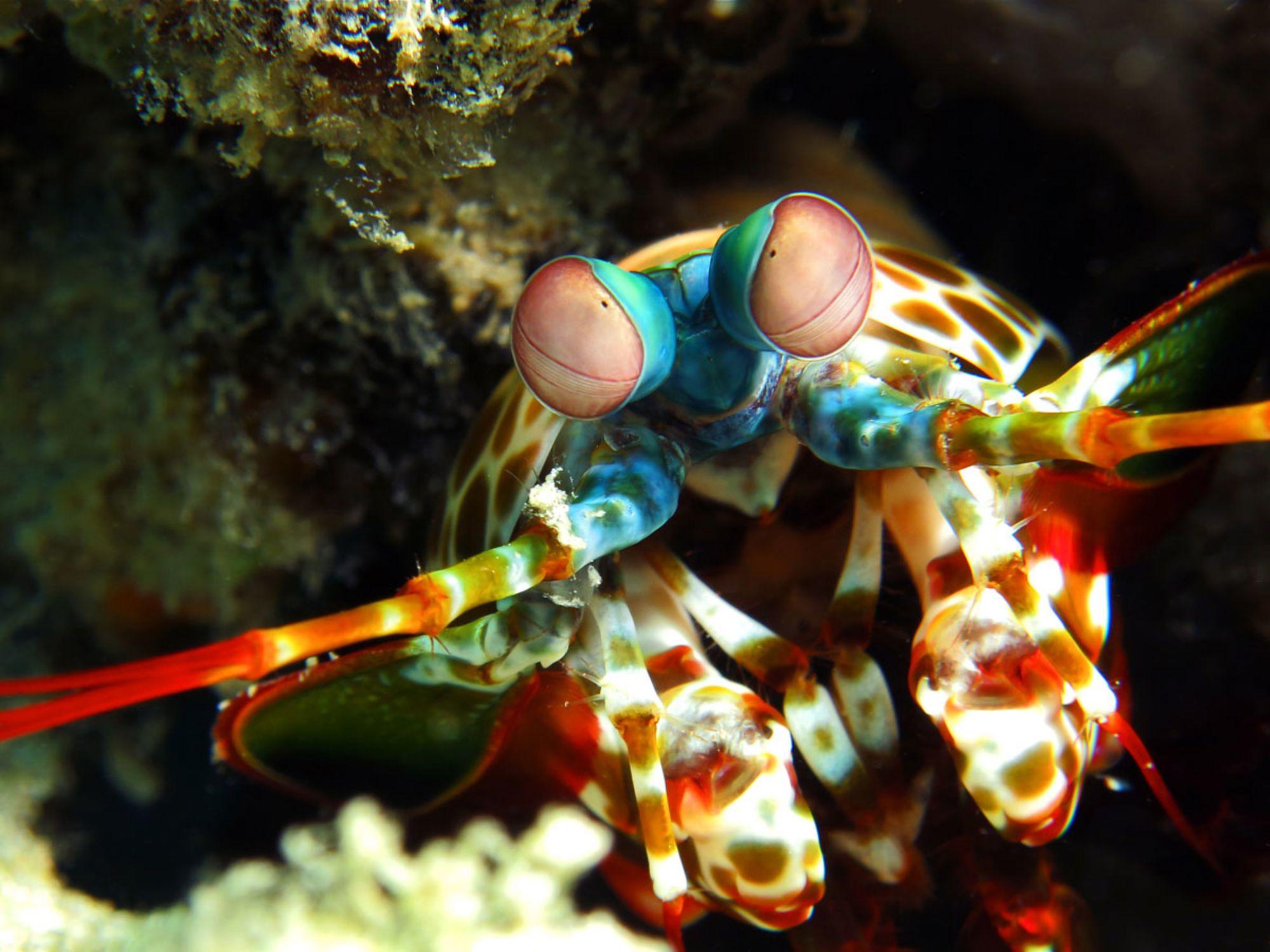 What Happens When a Mantis Shrimp Packs a Punch?