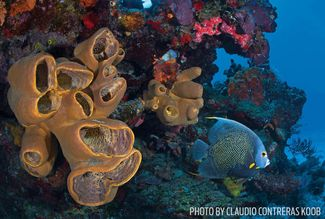 french angelfish sponges Palancar Reef Cozumel