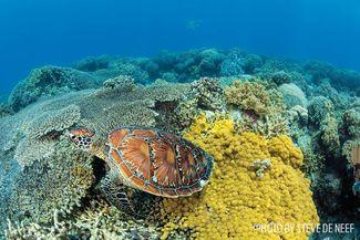 Apo island scuba diving green sea turtle