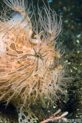 Hairball — Lembeh Strait, Indonesia