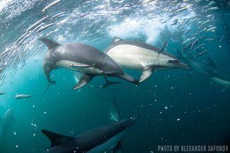 Sardine Run — South Africa