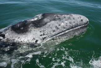 6 Fun Facts about Gray Whales