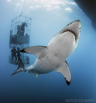 cage diving sharks guadalupe island