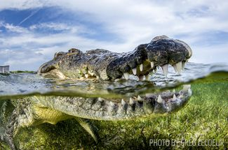 crocodile scuba diving