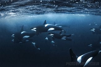 orcas norway diving