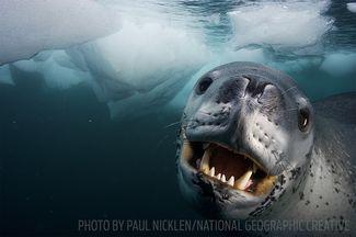 leopard seal scuba diving