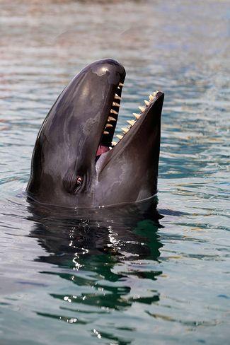 7 Facts about False Killer Whales | Sport Diver