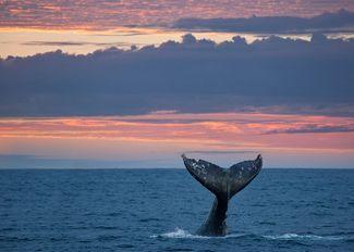 How Whale Poop Helps the Ocean