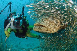 scuba diving Goliath grouper facts