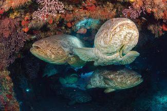 goliath grouper facts