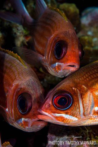 squirrelfish eyes