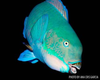 parrotfish eyes