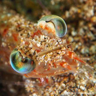 beaked shrimp hawaii