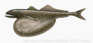 black swallower fish