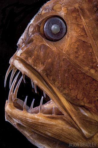 fangtooth fish photo