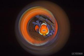 tongue eating louse parasite clownfish