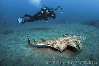 Angelshark and scuba diver bizarre weird shark