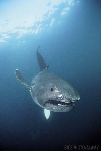 Megamouth shark weird bizarre underwater sea creature