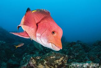 hogfish mexican