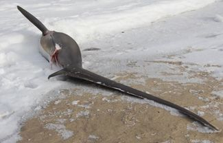 frozen thresher shark