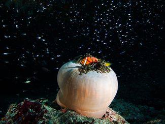 Clownfish Underwater Maldives