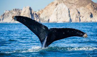 sea of cortex mexico humpback whale