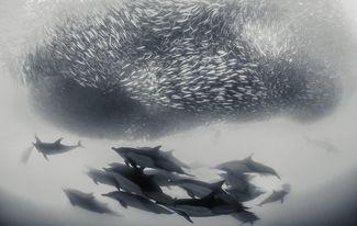 dolphins south africa sardine run