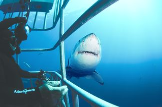 A great white shark approaches the cage.