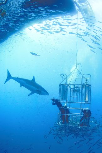 divers safely protected in a cage
