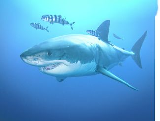 great white sharks need our protection