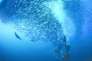 Great whites gather together in large numbers