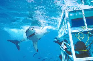 A great white torpedoes closer to the cage