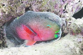 parrotfish facts