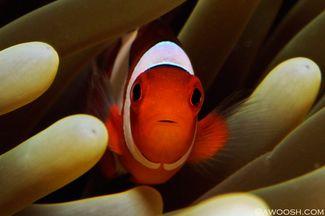 clownfish Raja Ampat underwater photography