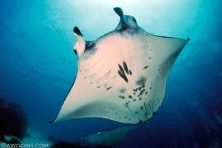 manta ray Raja Ampat underwater photography