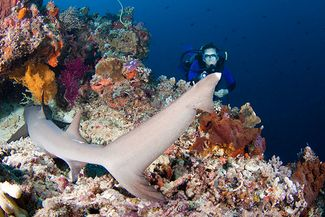 scuba diving philippines sharks