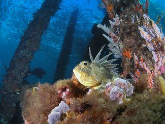 scuba diving Busselton Jetty, Western Australia