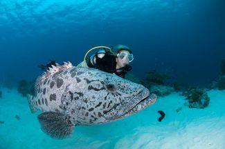 diver with potato cod